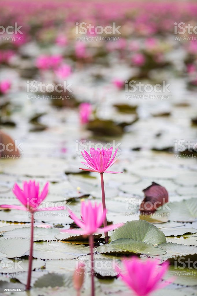 Sea of pink and red lotus at Udonthani Thailand stock photo