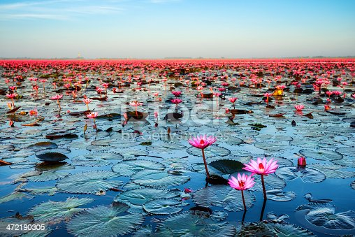 Sea of pink lotus (unseen in Thailand)