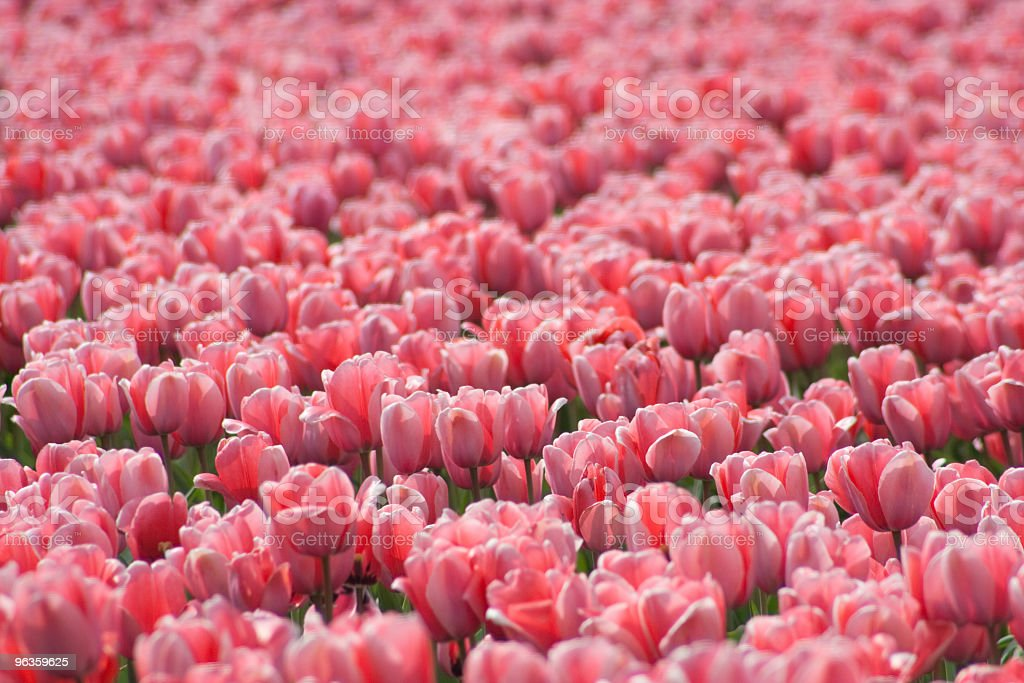 sea of pink tulips royalty-free stock photo