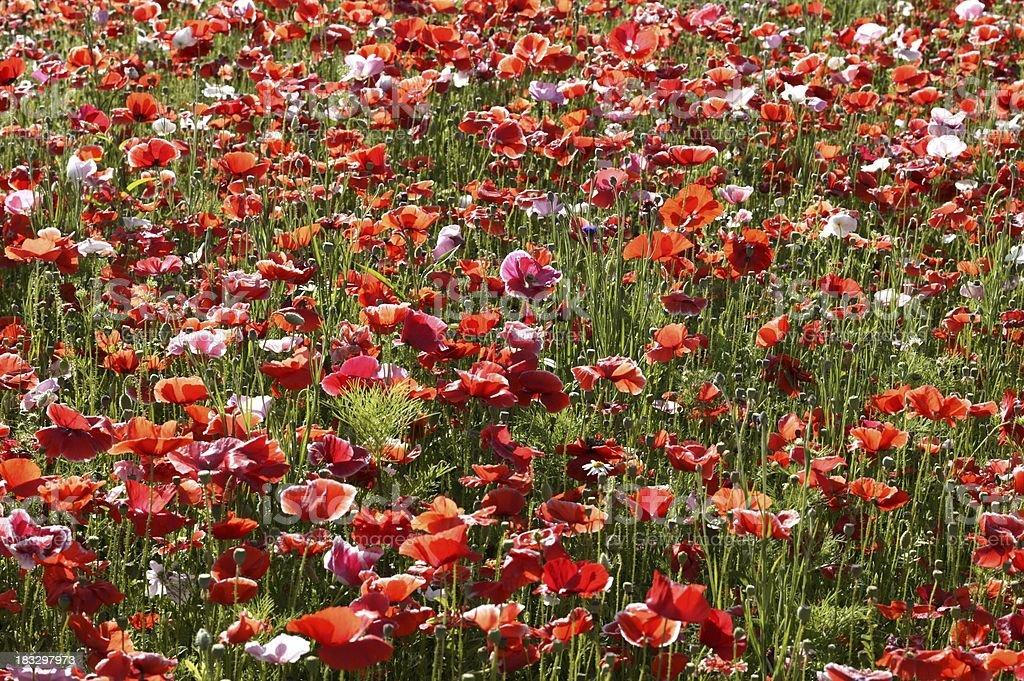 Sea of Poppies royalty-free stock photo