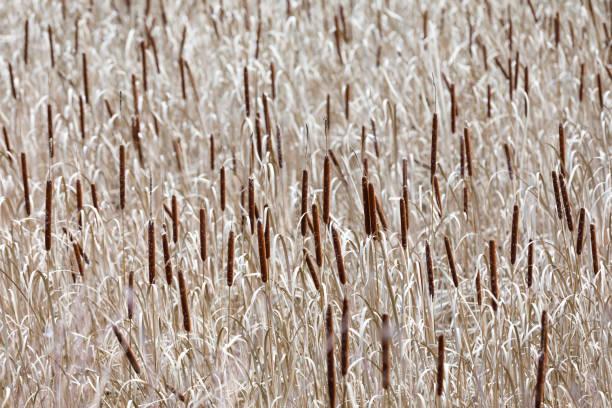 Sea of reed-mace in autumn stock photo