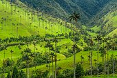 Wax palms, which can grow to up to 200 feet tall, are the tallest type of palm tree in the world, as well as the tallest recorded species of monocot. It is a palm species native to the tropical area of the Andes Mountains. Wax palms are also a dominant feature in Colombia Peso notes.