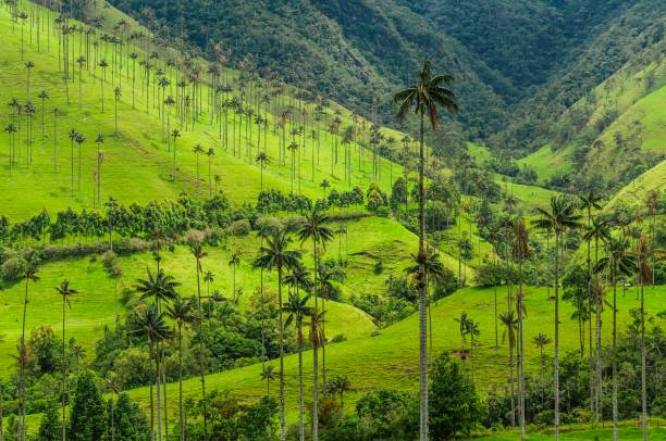 a sea of tall wax palm trees dotted on the lush green hills of cocora valley at salento, antioquia, colombia. - dolina zdjęcia i obrazy z banku zdjęć