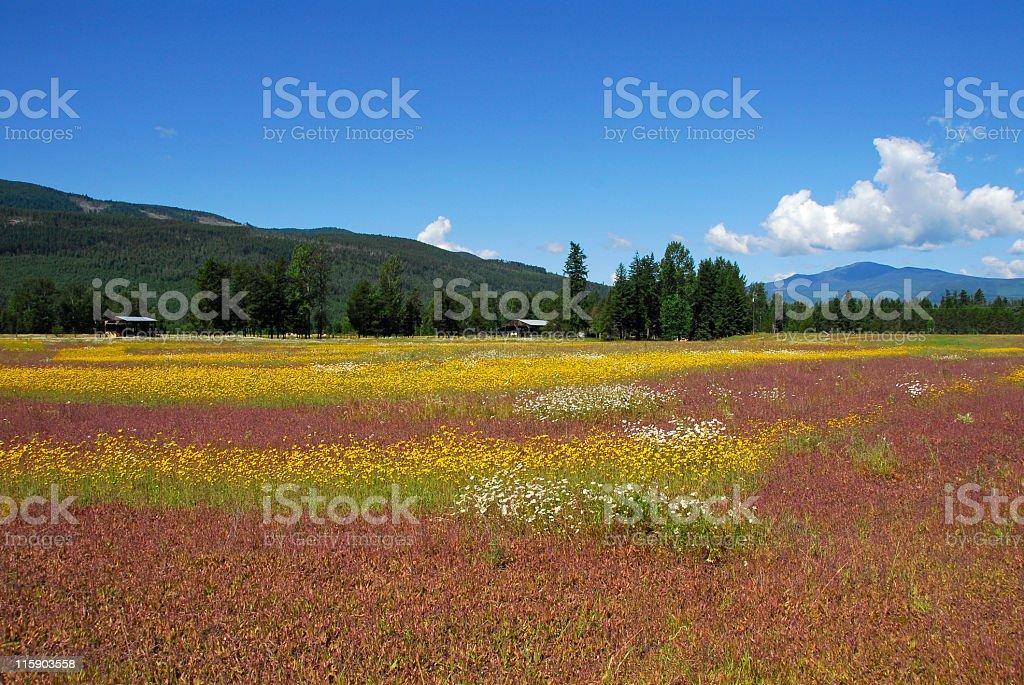 Sea of wildflowers royalty-free stock photo