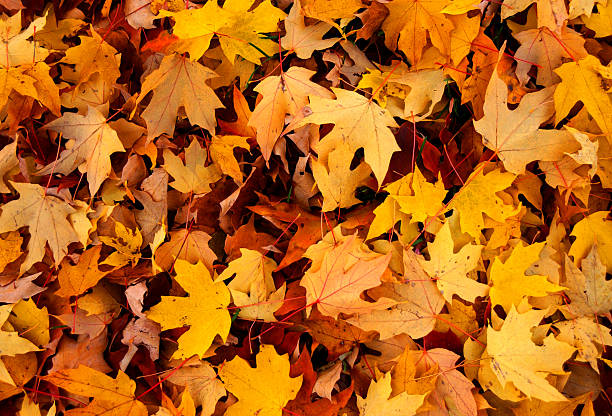 Sea of yellow and orange autumn leaves stock photo
