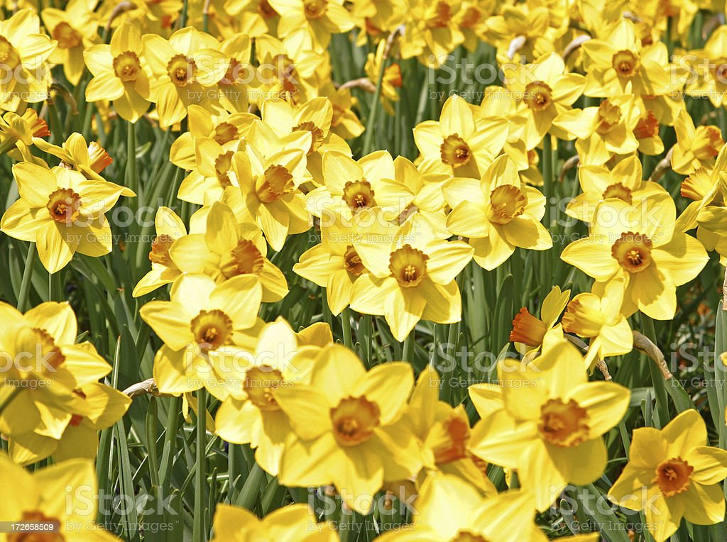 Sea of Yellow Dafodils royalty-free stock photo
