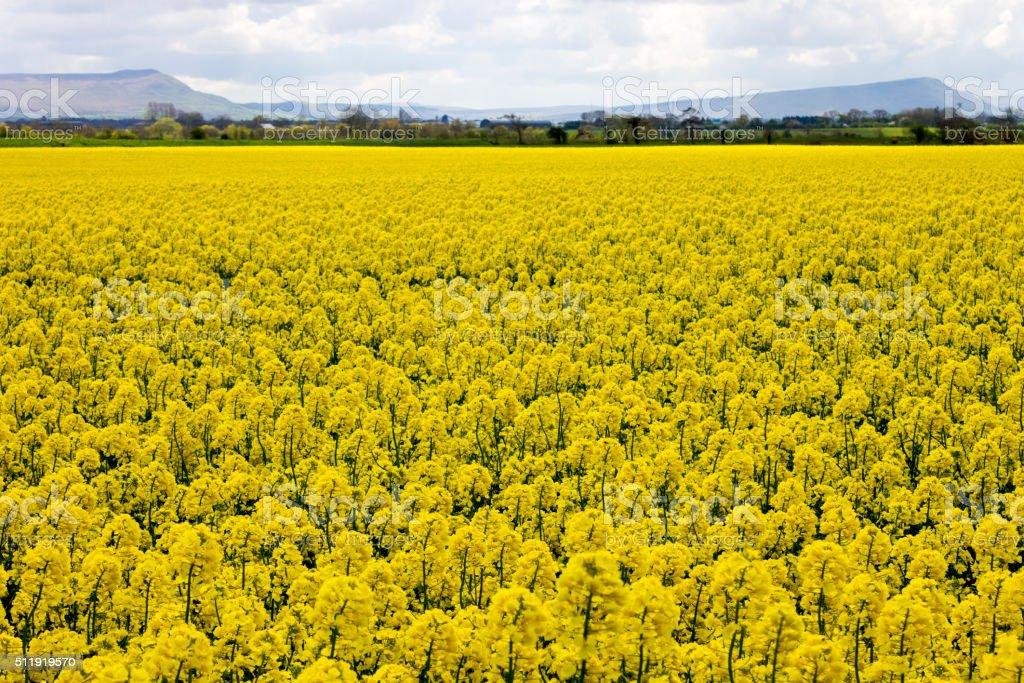 Sea of yellow rapeseed flowers in Northern Ireland stock photo