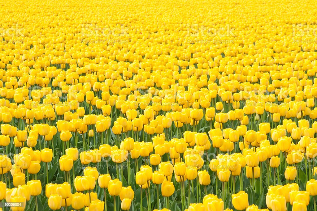 sea of yellow tulips stock photo