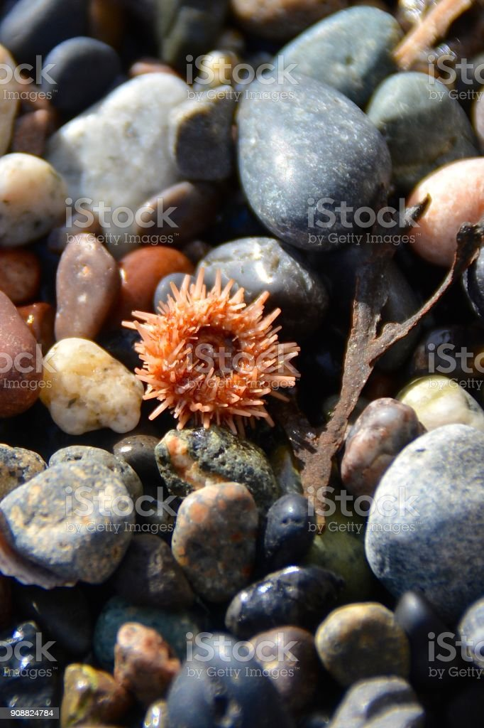 Sea Otter and Urchin royalty-free stock photo
