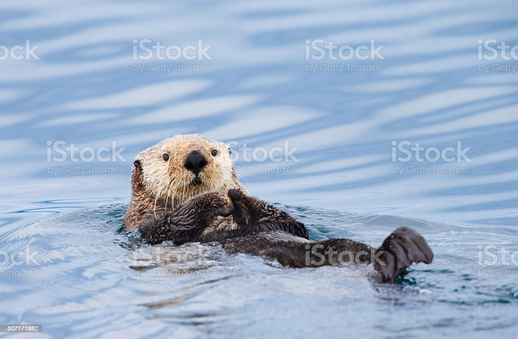 Sea Otter , British Columbia stock photo