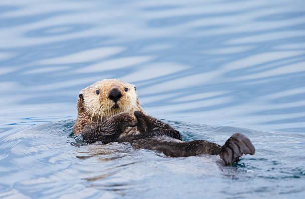 Sea Otter , British Columbia stock photo