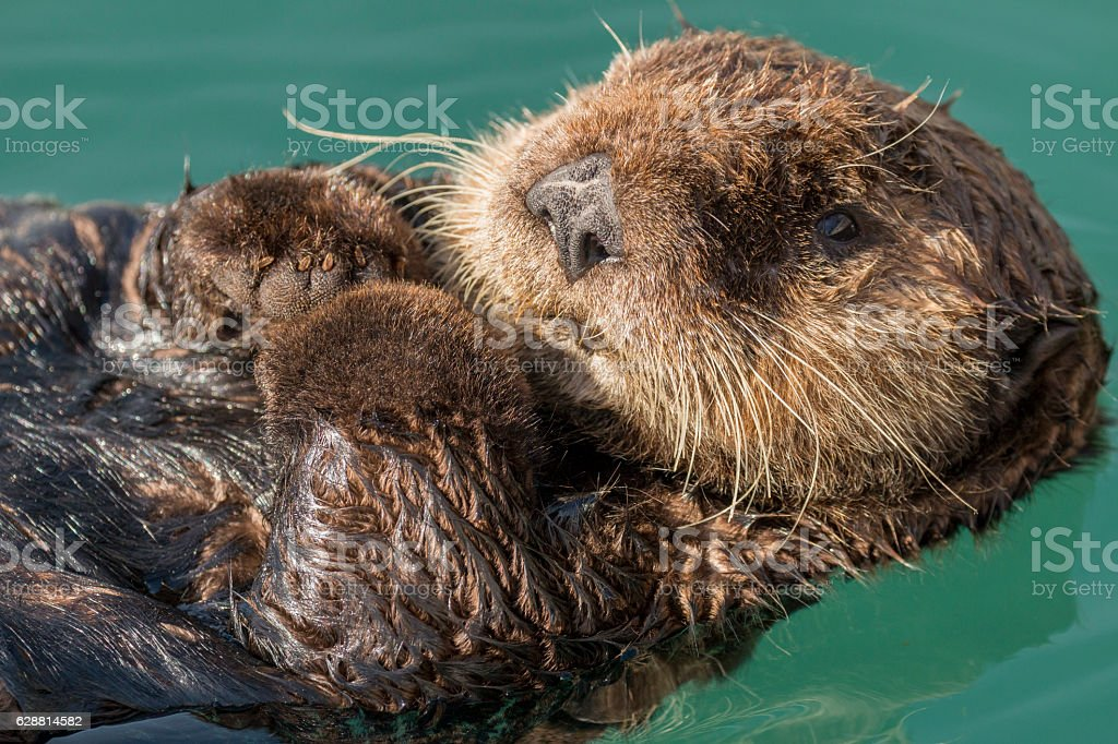 Sea otter floating in Seward harbor, Alaska. stock photo