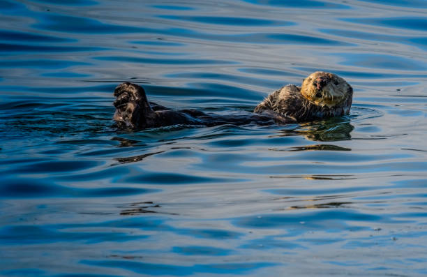 Sea Otter floating n cool blue water stock photo