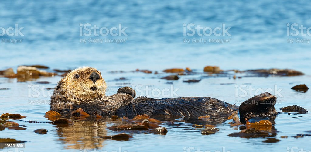 Sea Otter in Kelp Bed stock photo