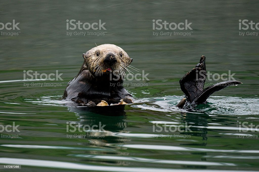 Sea Otter Lunch stock photo