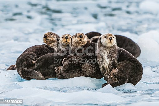 Sea Otter on Ice,  Enhydra lutris,  Prince William Sound,  Alaska, in front of Surprise Glacier. Resting on the ice from the glacier.