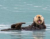 Sea Otter in the Prince William Sound, Alaska