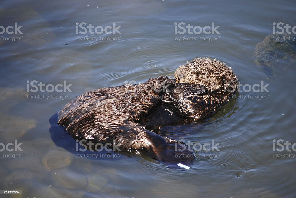 Lontra marina foto stock royalty-free