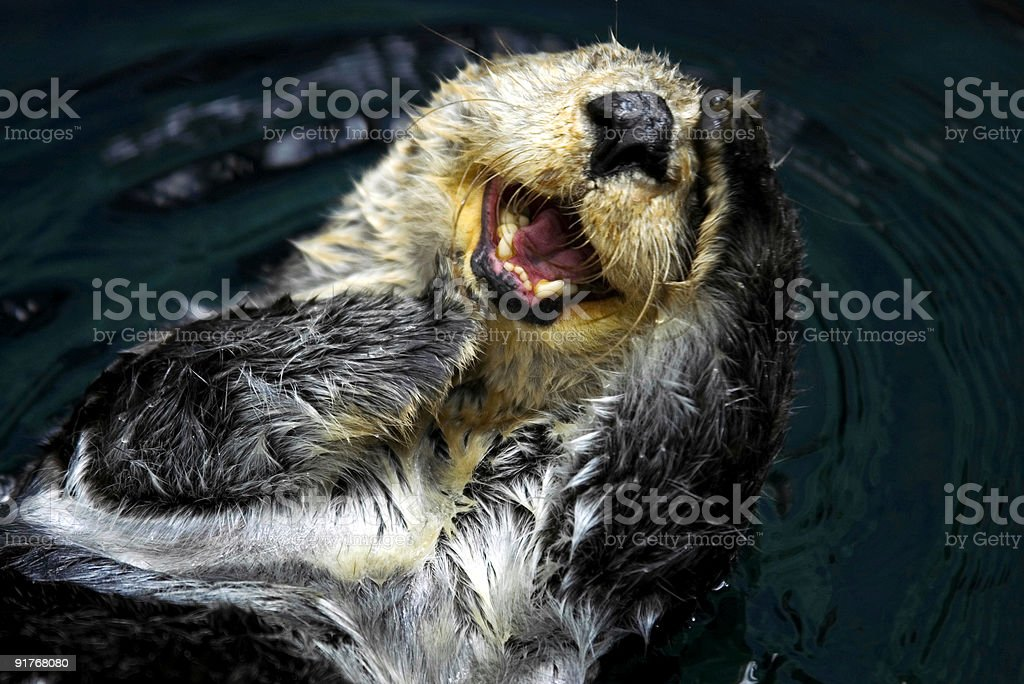 Sea Otter (Enhydra Lutris) stock photo