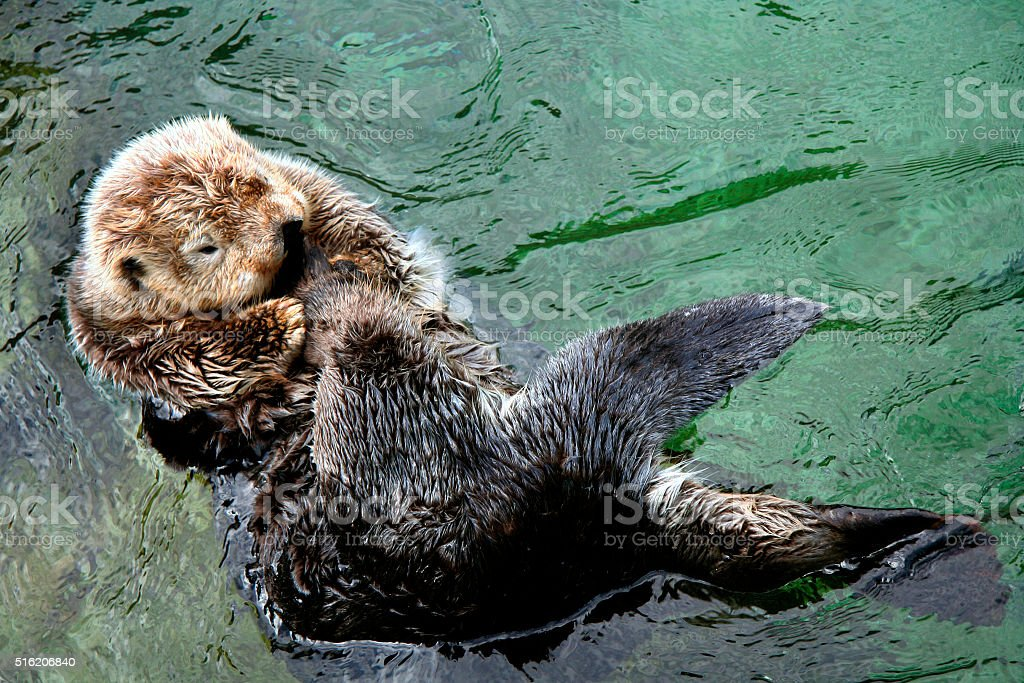 Sea Otter relaxing stock photo