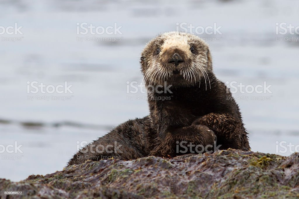 Sea otter sitting on a rock on the shore of the island stock photo