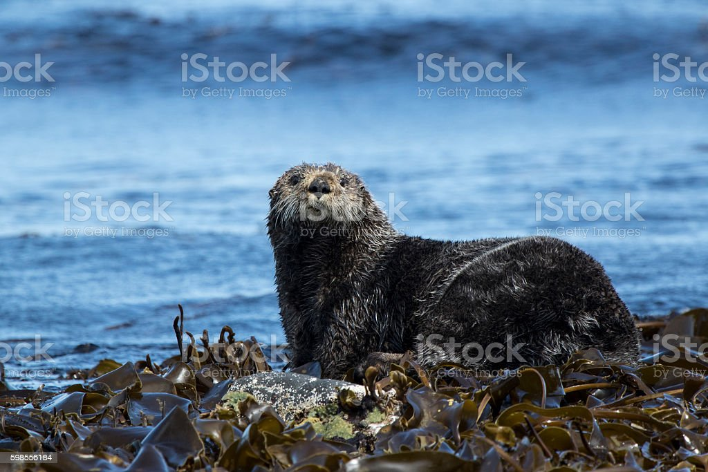 sea otter sitting on rocks shoreline summer day stock photo