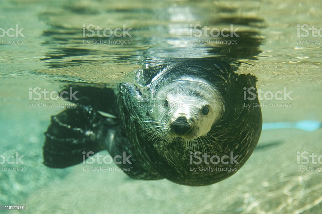Sea Otter swimming right at the camera stock photo