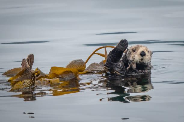 Sea Otter Waving stock photo