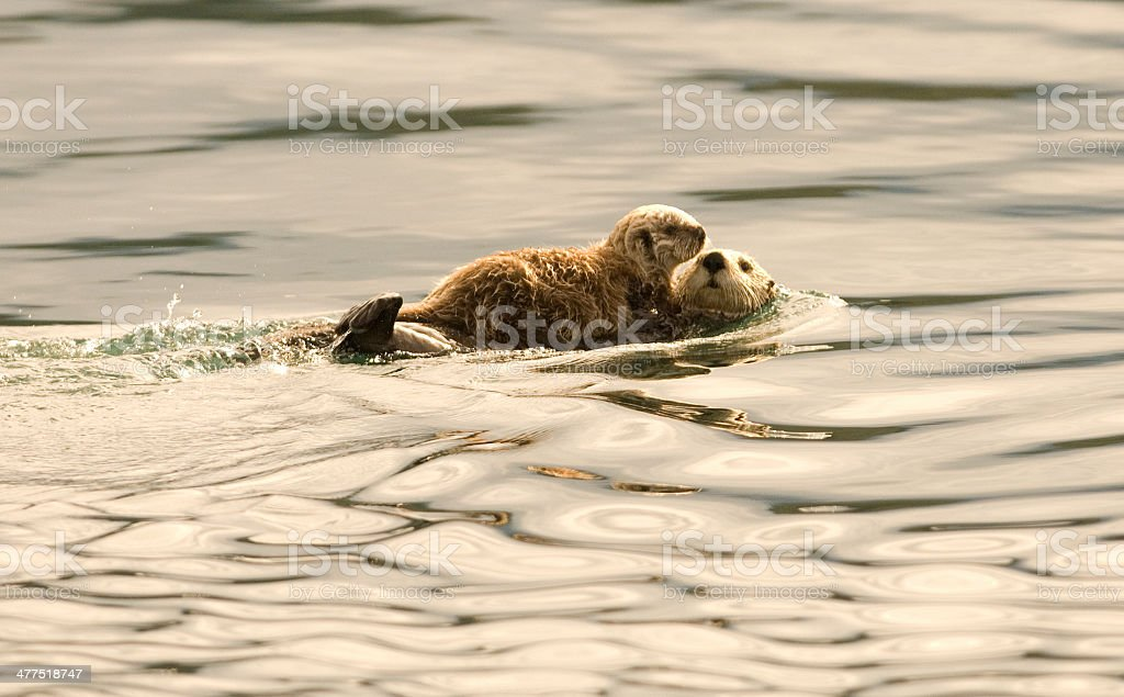 Sea Otter with Baby on Stomach stock photo