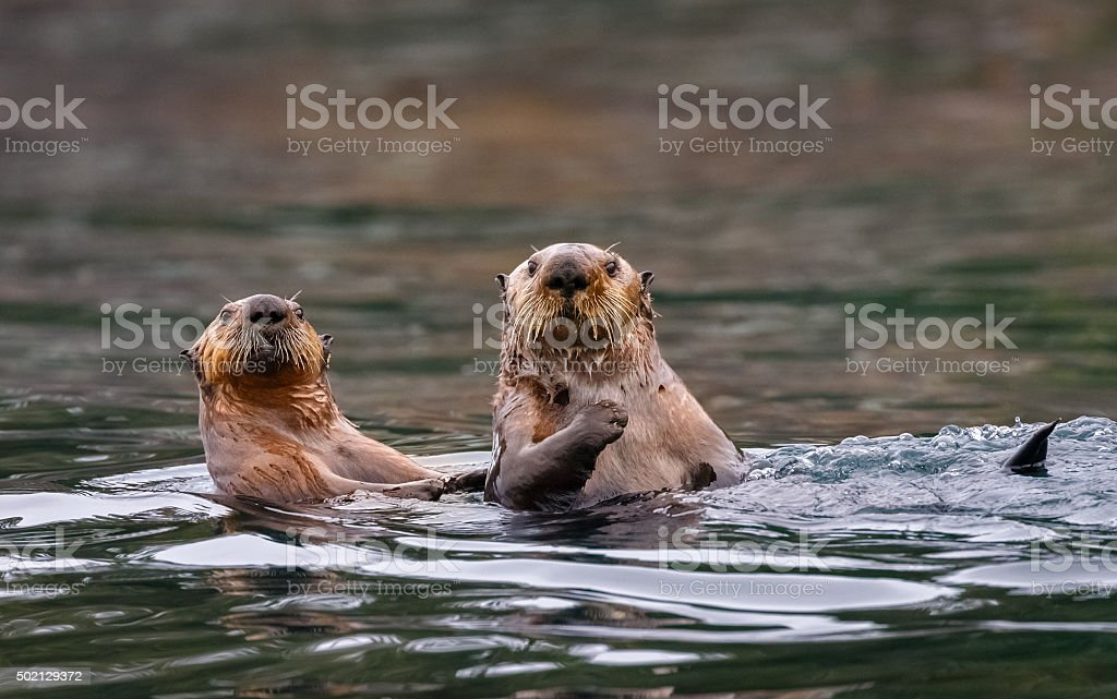 Sea Otters , British Columbia stock photo