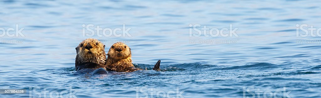 Sea Otters , Mother and Pup stock photo