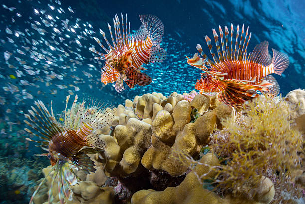 sea - lionfish stock photos and pictures