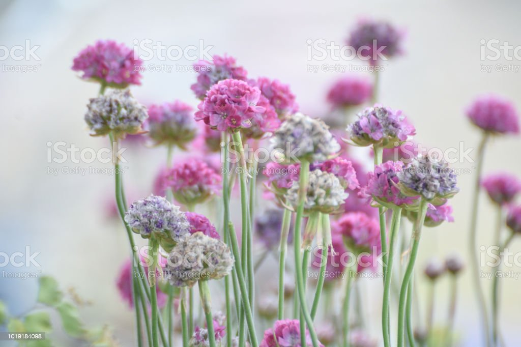 Sea pinks thrift flowers high key floral background backdrop stock sea pinks thrift flowers high key floral background backdrop royalty free stock photo mightylinksfo