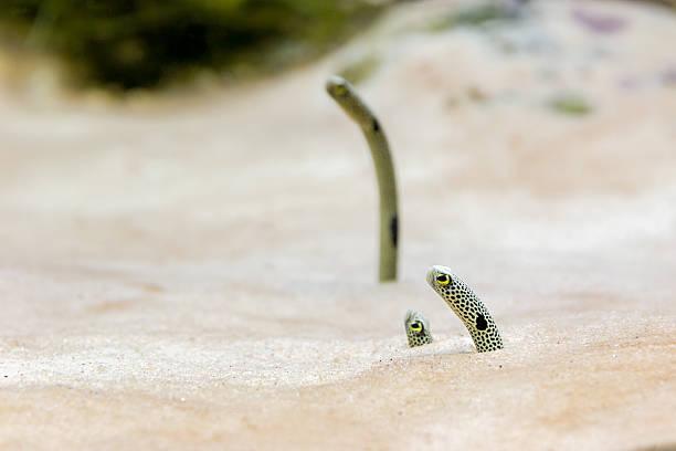 Sea sand eel - Photo