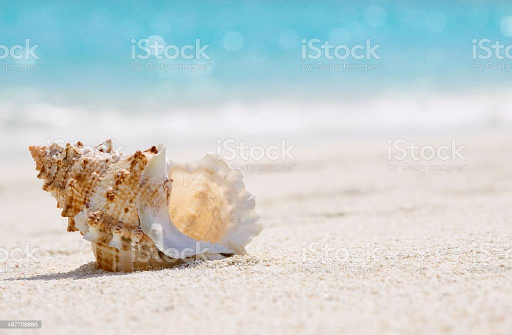 Sea Shell in Maldives Beach stok fotoğrafı