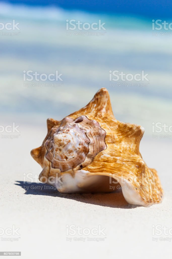 Sea shell on perfect sandy beach with Caribbean sea background,...