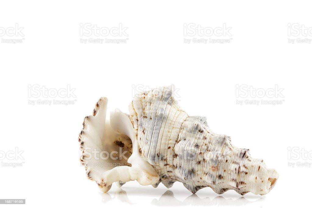 sea shell on white background royalty-free stock photo