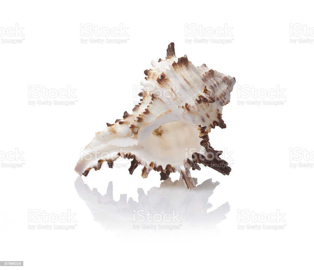 sea shell on white background royalty-free stock photo