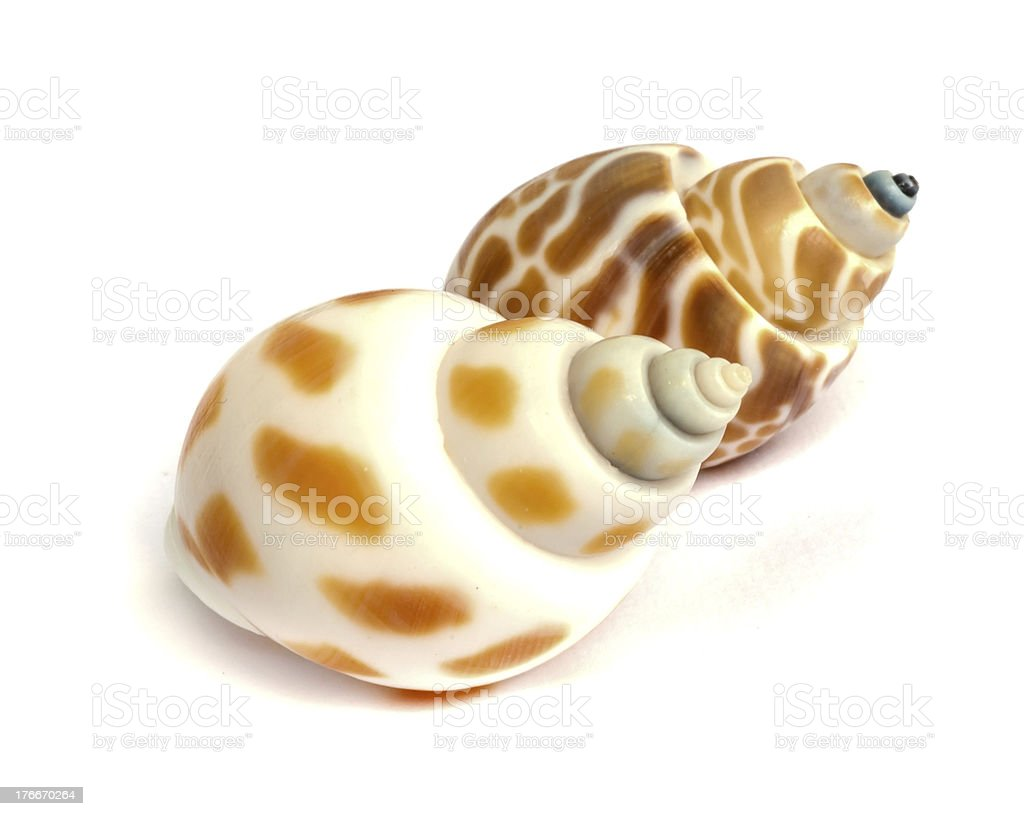 sea shell . royalty-free stock photo