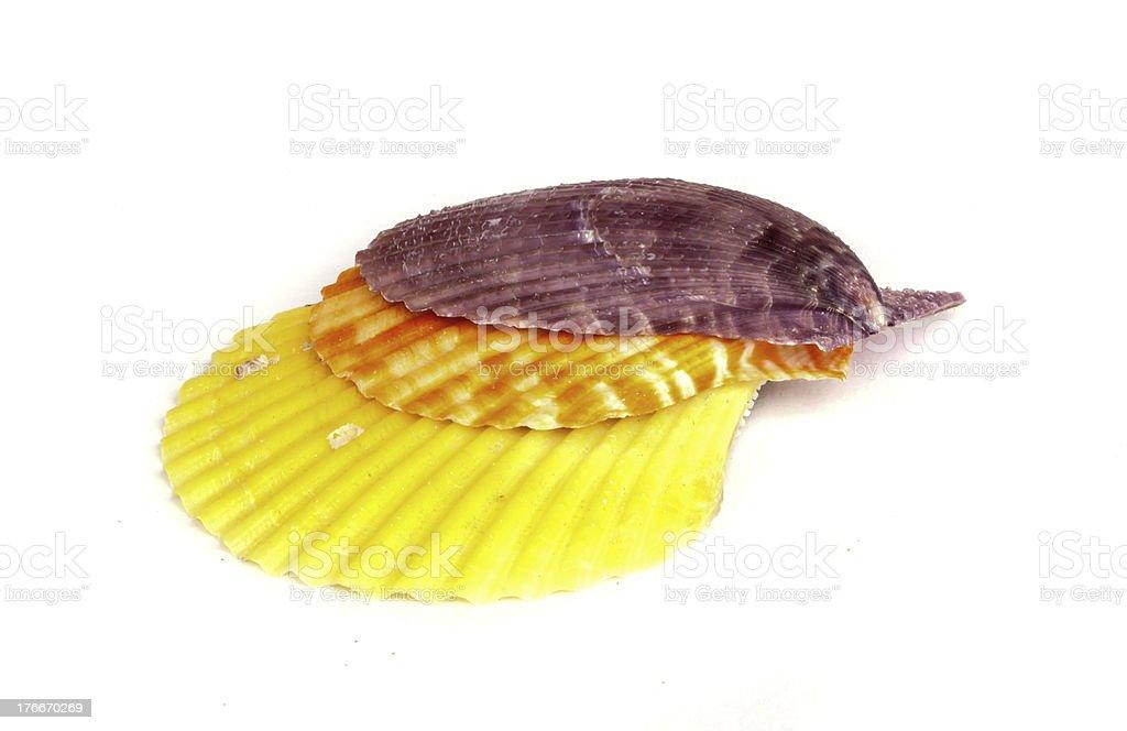 sea shell . royalty-free stock photo