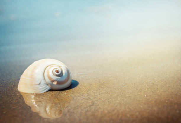 sea shell - zeeschelp stockfoto's en -beelden