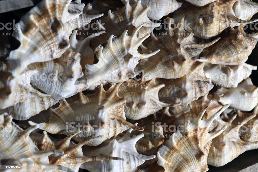 Sea shells in the market. Conch shells at Puri sea beach evening...