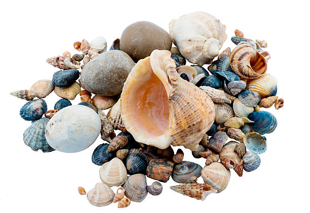Conchas em um fundo branco - foto de acervo