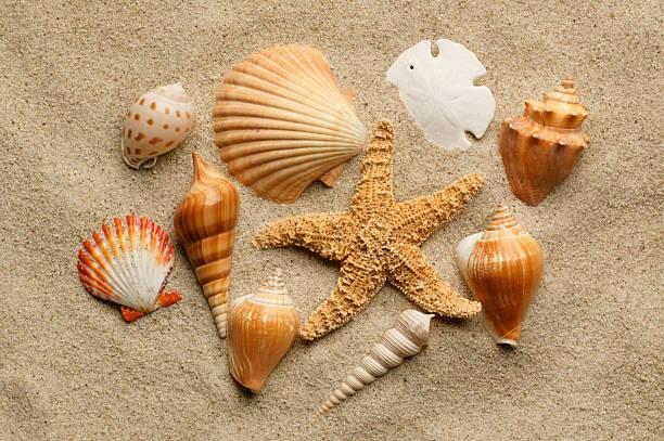muscheln leicht in strand sand begraben - sanddollars stock-fotos und bilder