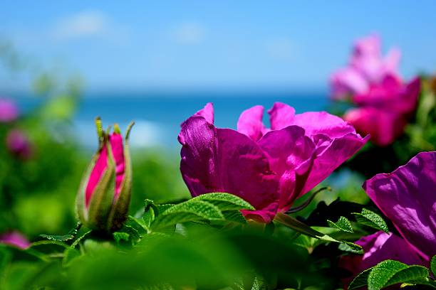 Sea Side A Beach Rose blooming the sea side along the marginal way in Ogunquit, Maine. arcane stock pictures, royalty-free photos & images