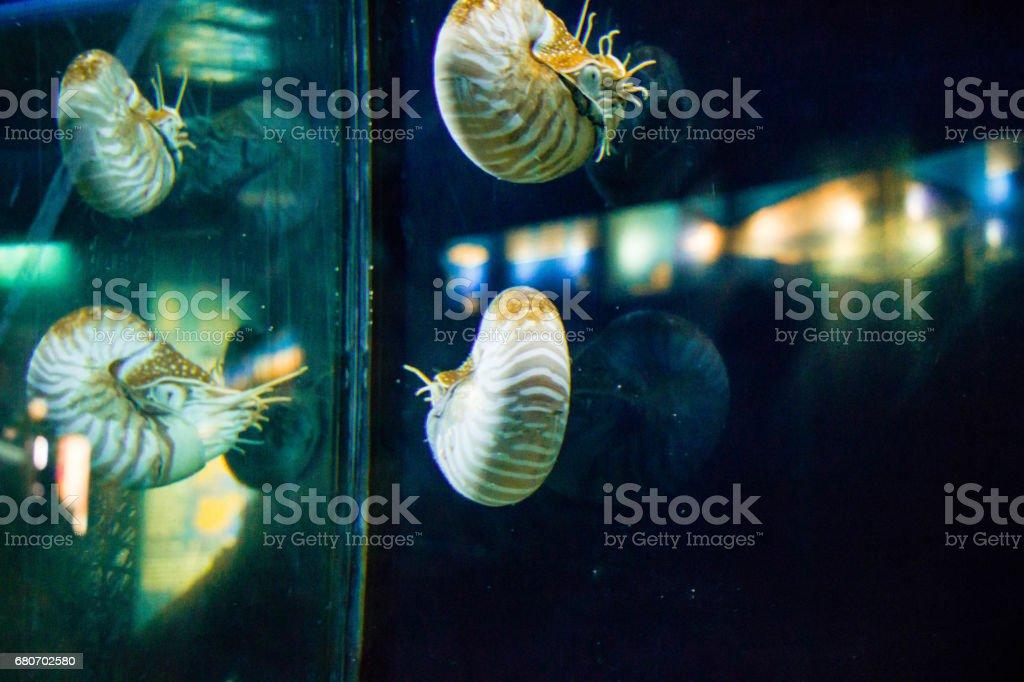 Sea snail in aquarium stock photo