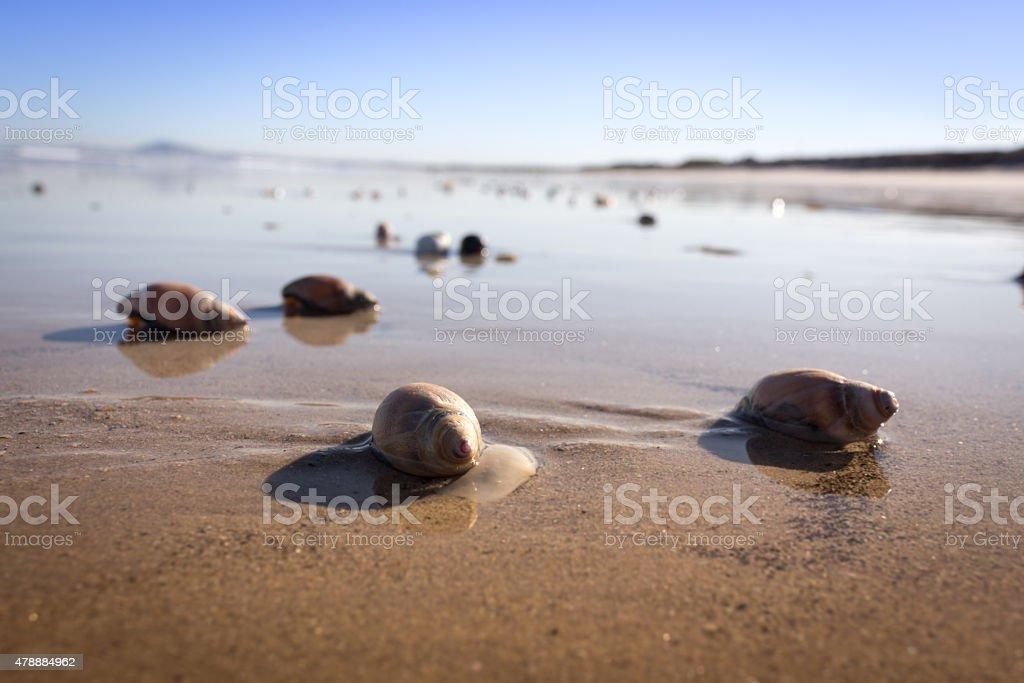 Sea snails on beach stock photo