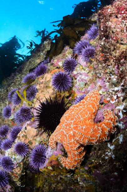 Sea Star and Urchins stock photo
