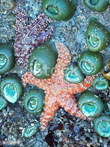 Sea Stars and Sea Anemone in Washington Pacific Coast Tide Pool