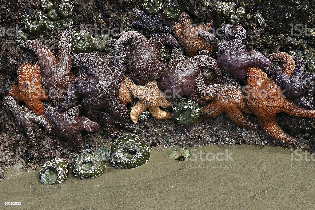 Sea Stars (Starfish) and Sea Anemones, Strawberry Hill Beach, Oregon. royalty-free stock photo